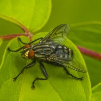 назойливая муха :: Петр Беляков