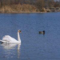 А белый лебедь на пруду... :: Лариса Н