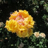 Букет роз на одном стебле. :: Нина Акарцева