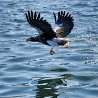 белоплечий орлан :: Ingwar