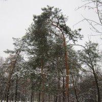 Сосны в декабре :: Дмитрий Никитин