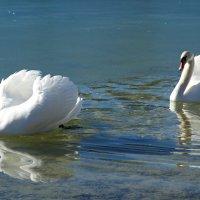 Белые лебеди - птицы прекрасные!.... :: Galina Dzubina