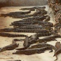 крокодиловая ферма :: Александр