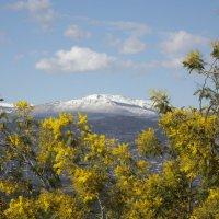 горы на фоне мимозы :: Anna-Sabina Anna-Sabina