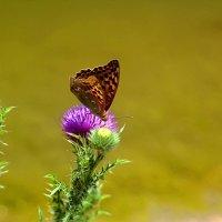 Бабочка :: Валентин Семчишин