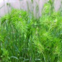 Травы, травы, травы... :: Светлана