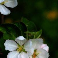 Яблоня в цвету :: Евгений Шувалов