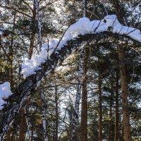 А лес такой загадочный...в ожидании весны... :: Галина Стрельченя