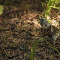 Любопытная птаха :: Даниэль Быстров