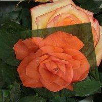 Розы( наложение кадров) :: Натала ***