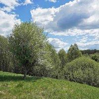 Цветущая яблоня в долине Шоши :: Сергей Курников