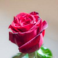 Роза :: Валерий Судачок