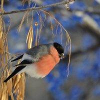 Летом, честно говоря, Трудно встретить снегиря. А зимою — благодать! — За версту его видать! Автор: :: Солоненко Лидия