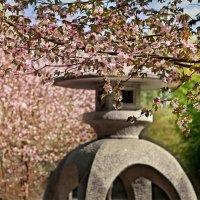 Цветение сакуры :: Георгий Вересов
