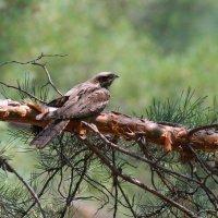 Лесная птица замерла :: Владилен Панченко