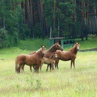 Ходят кони... :: Галина Кан