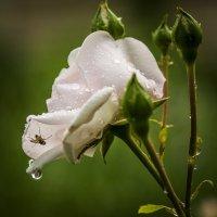 Муха на розе :: Николай Галкин