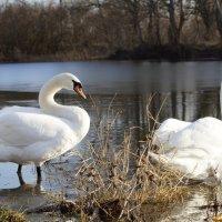 Лебеди на прогулке. Новокубанский район :: Дина Дробина