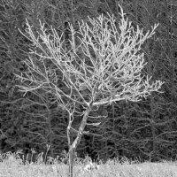 Дерево :: Виктор Печищев