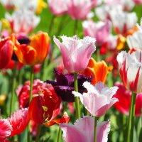 Царство тюльпанов :: Swetlana V
