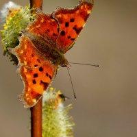 про весенних бабочек  2 :: Александр Прокудин
