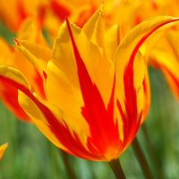 Тюльпан в апреле :: Swetlana V