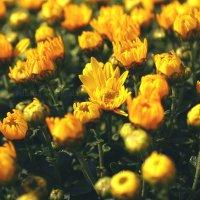 Цветы :: Лилия Кондратьева