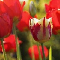 Огоньки весеннего сада.. :: Татьянка *