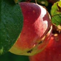 утреннее яблоко :: Лариса Крышталь
