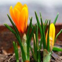 Первые цветы в этом году. :: Slav51T