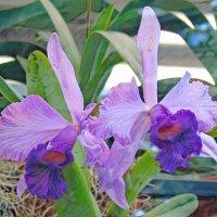 Орхидеи :: Наталья Цыганова
