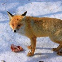 Рыжая лиса! :: Штрек Надежда