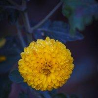 Жёлтая звезда осени :: Андрей Нибылица