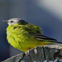 Желтая трясогузка :: vodonos241