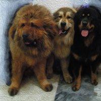 Трио тибетских мастифов... Картина маслом ) :: Тамара Бедай