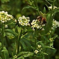 Пчелки уже проснулись :: Светлана