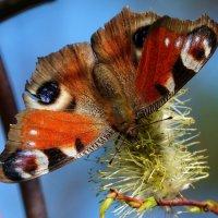 апрельские бабочки 1 :: Александр Прокудин