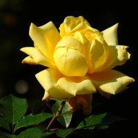 Жёлтая роза :: Наталья Цыганова