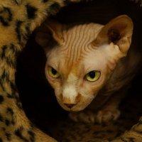 Кошки с выставки :: kolyeretka