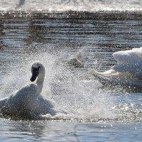 Купания весенних лебедей :: Татьяна Каневская