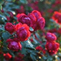 Утренние розы :: Любовь Р