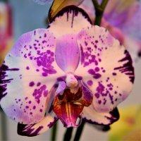 Орхидеи :: Константин Анисимов