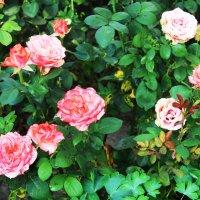 осенние розы :: Любовь ***