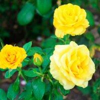 желтые розы :: Любовь ***