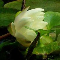 Белая водяная лилия :: Лидия Бусурина