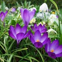 Весны первоцветенье!!... :: Galina Dzubina