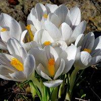 Нежность весны :: Светлана Петошина