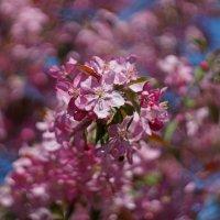 Декоративная яблоня цветет :: Анна Васильева (Anna-82V)