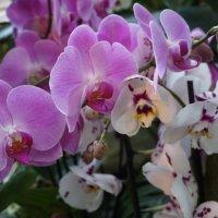Орхидеи :: Ирина Рачкова