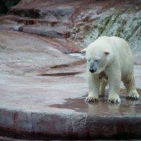 Белый медведь :: Игорь Осипенко